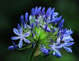 Image of Agapanthus Blue (large)