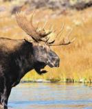 Afbeelding van Animal Essences Moose (Eland) (30ml)