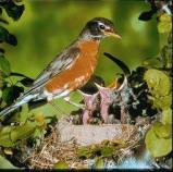Afbeelding van Animal Essences Robin (Roodborstje) (30ml)
