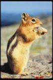 Afbeelding van Animal Essences Chipmunk (Gestreepte Eekhoorn) (30ml)