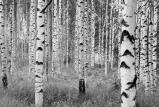 Afbeelding van Bos Zwart Wit 4 delig Vlies Fotobehang 368x248cm