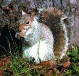 Afbeelding van Animal Essences Squirrel (Eekhoorn) (30ml)