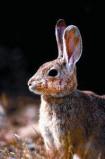 Afbeelding van Animal Essences Rabbit (Konijn) (30ml)