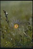 Afbeelding van Animal Essences Spider (Spin) (30ml)