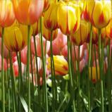 Afbeelding van AG Design Fotobehang Tulip Big FTS0045