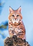Afbeelding van Animal Essences Bobcat (Amerikaanse lynx) (30 ml)
