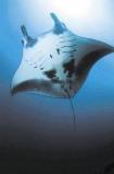 Afbeelding van Animal Essences Manta Ray (Reuzenmanta) (30ml)