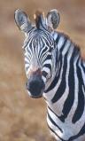 Afbeelding van Animal Essences Zebra (30ml)