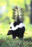 Afbeelding van Animal Essences Skunk (Stinkdier) (30ml)