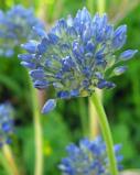 Image of Allium Caeruleum Blue of the Heavens