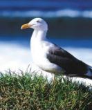 Afbeelding van Animal Essences Seagull (Zeemeeuw) (30ml)