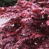 Afbeelding van Acer 'Bloodgood' Japanse Esdoorn in C3(liter) pot met hoogte 20 40cm