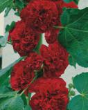 Image of Alcea Rosea Dark Red