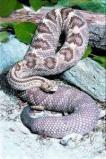 Afbeelding van Animal Essences Snake (Slang) (30ml)
