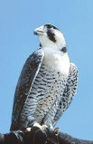 Afbeelding van Animal Essences Peregrine Falcon (Slechtvalk) (30ml)