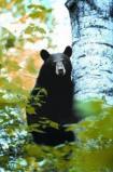Afbeelding van Animal Essences Bear (beer) (30 ml)