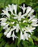 Image of Agapanthus White