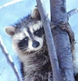 Afbeelding van Animal Essences Raccoon (Wasbeer) (30ml)