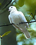 Afbeelding van Animal Essences Dove (Duif) (30ml)
