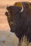 Afbeelding van Animal Essences Buffalo (buffel) (30 ml)