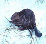 Afbeelding van Animal Essences Beaver (Bever) (30ml)