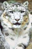 Afbeelding van Animal Essences Snow Leopard (Sneeuwluipaard) (30ml)