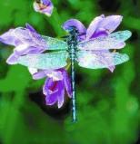 Afbeelding van Animal Essences Dragonfly (Libelle) (30ml)