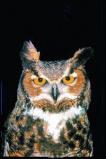 Afbeelding van Animal Essences Owl (Uil) (30ml)
