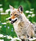 Afbeelding van Animal Essences Coyote (Prairiewolf) (30ml)