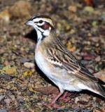 Afbeelding van Animal Essences Sparrow (Mus) (30ml)