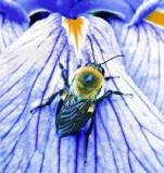 Afbeelding van Animal Essences Bumblebee (hommel) (30 ml)