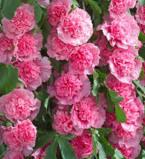 Image of Alcea Rosea Pink
