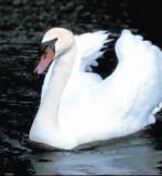 Afbeelding van Animal Essences Swan (Zwaan) (30ml)