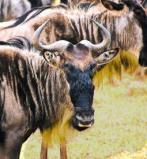 Afbeelding van Animal Essences Wildebeest (30ml)