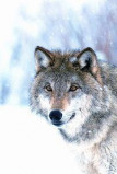 Afbeelding van Animal Essences Wolf (30ml)