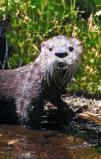 Afbeelding van Animal Essences Otter (30ml)