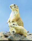 Afbeelding van Animal Essences Prairie Dog (Prairiehond) (30ml)