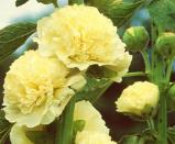 Image of Alcea Rosea Yellow