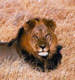 Afbeelding van Animal Essences Lion (Leeuw) (30ml)