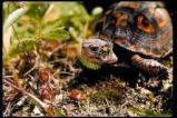 Afbeelding van Animal Essences Turtle (Zeeschildpad) (30ml)