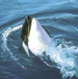 Afbeelding van Animal Essences Orca (30ml)