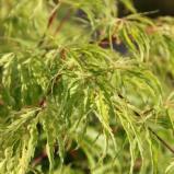Afbeelding van Acer palmatum 'Dissectum' Japanse Esdoorn in C5(liter) pot