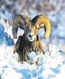 Afbeelding van Animal Essences Bighorn sheep (schaap) (30 ml)