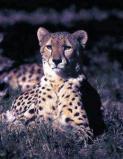Afbeelding van Animal Essences Cheetah (Jachtluipaard) (30ml)