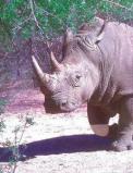 Afbeelding van Animal Essences White Rhinoceros (Witte Neushoorn) (30ml)