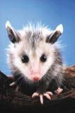 Afbeelding van Animal Essences Opossum (Buidelrat) (30ml)