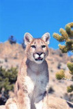 Afbeelding van Animal Essences Mountain Lion (Poema) (30ml)
