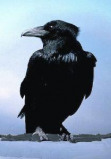 Afbeelding van Animal Essences Crow (Kraai) (30ml)
