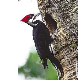 Afbeelding van Animal Essences Pileated Woodpecker (Helmspecht) (30ml)