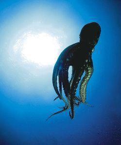 Afbeelding van Animal Essences Octopus (30ml)